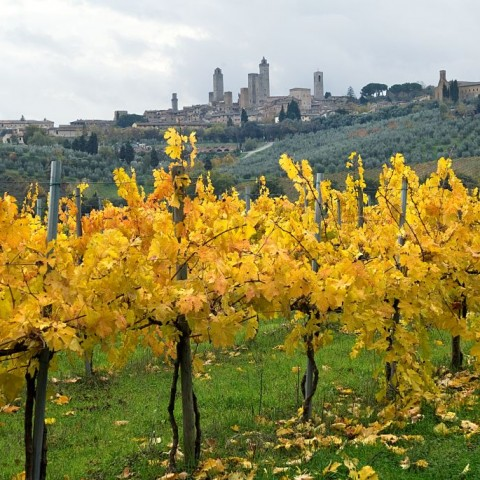vineyard and San Gimignano.OR1151